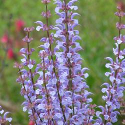 Salvia haematodes