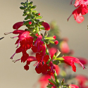 Salvia coccinea 'Lady in Red'