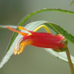 Lobelia laxiflora var angustifolia