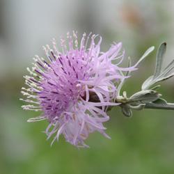 Centaurea gymnocarpa