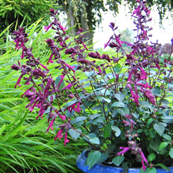 Salvia x 'Love and Wishes'