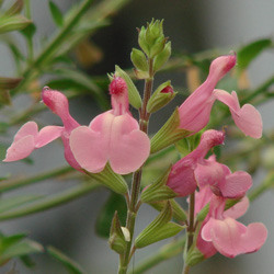 Salvia x 'Elk Twilight's Rosy Glow'