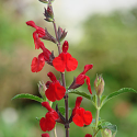 Salvia greggii 'Radio Red'