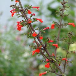 Salvia rubescens subsp. dolichothrix