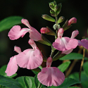 Salvia x 'Elk Pink Cloud'