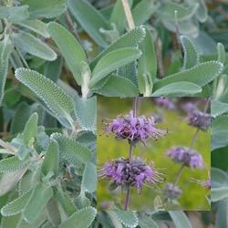 Salvia leucophylla 'Point Sal Spreader'