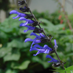 Salvia BODACIOUS 'Rhythm and Blues'