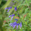 Salvia x 'Margie Griffith'
