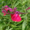 Salvia x 'Elk Crimson King'