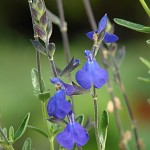 Salvia x 'Elk Blue Note'