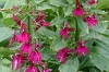 Lobelia 'Cranberry Crush'