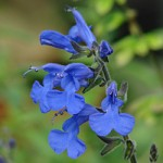 Salvia scutellarioides 'Elk True Blue'
