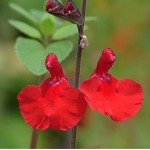 Salvia x 'Elk Cranberry Red'