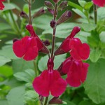 Salvia x 'Elk Raspberry Moose'