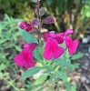 Salvia WINDWALKER® Desert Rose