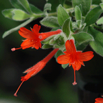 Zauschneria californica 'Everett's Choice'