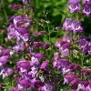 Penstemon PIKES PEAK PURPLE®