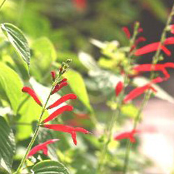 Salvia elegans 'Honey Melon'