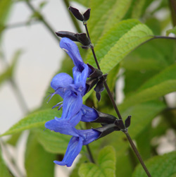 Salvia guaranitica 'Black & Blue'