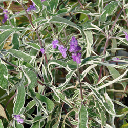 Salvia leucantha 'Variegata'
