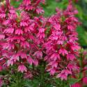 Lobelia 'Monet Moment'