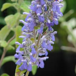 Salvia melissodora
