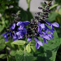 Salvia x guaranitica 'Costa Rica Blue'