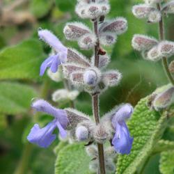 Salvia keerli