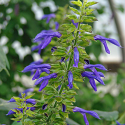 Salvia mexicana x hispanica 'Byron Flint'