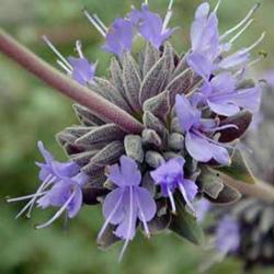 Salvia x 'Pozo Blue'