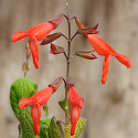 Salvia gesneriiflora 'Mountain Form'