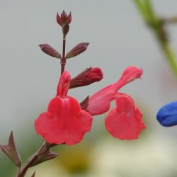 Salvia greggii 'Cherry Chief'