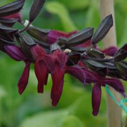 Salvia x 'Raspberry Truffle'