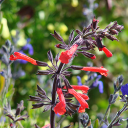 Salvia rubescens