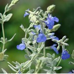 Salvia pachyphylla 'Blue Flame'
