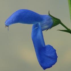 Salvia patens 'Large Form'