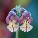 Salvia sp. from Szechuan