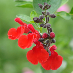 Salvia microphylla 'Red Velvet'