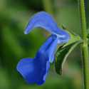 Salvia patens 'Oxford Blue'