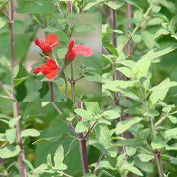 Salvia microphylla 'Belize Form'