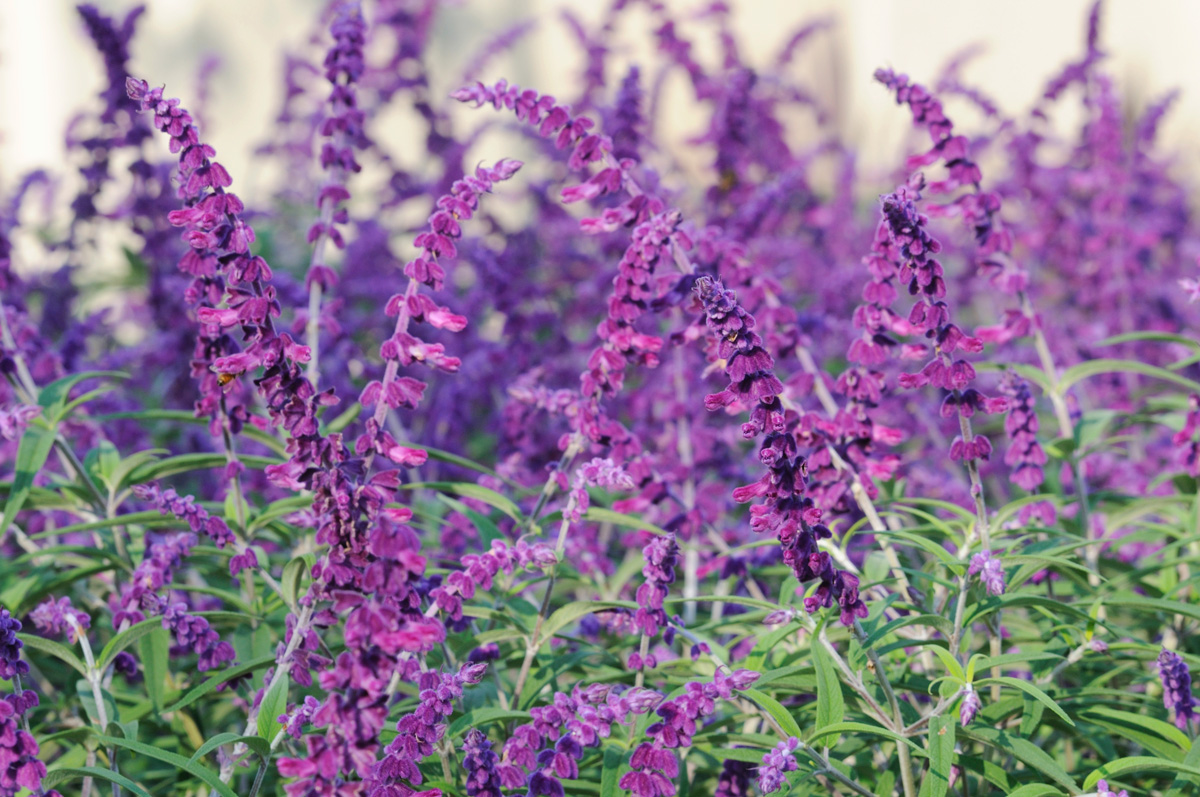 Salvia leucantha midnight midnight mexican bush sage salvia leucantha midnight mightylinksfo Image collections