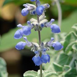 Salvia cedrosensis
