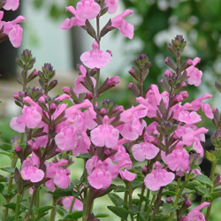 Salvia microphylla 'Flower Child'