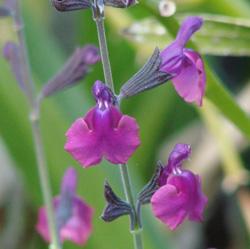 Salvia lycioides x greggii 'Ultra Violet'