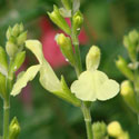 Salvia x 'Elk Lemon Light'