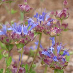 Salvia x 'Celestial Blue'
