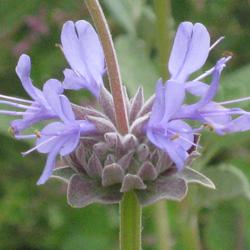 Salvia clevelandii 'Deer Springs Silver'