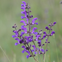 Salvia stepposa
