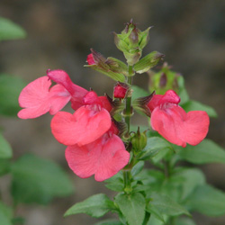 Salvia microphylla 'People's Park'