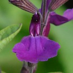 Salvia VIBE 'Ignition Purple'